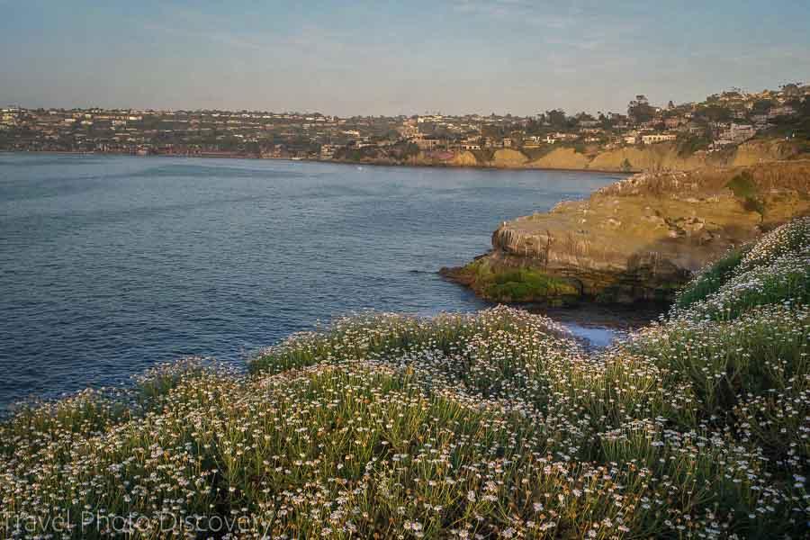 La Jolla coastal walk and wild flowers on the coastline