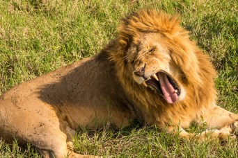 tired yawning lion