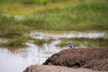 Pied Kingfisher bird