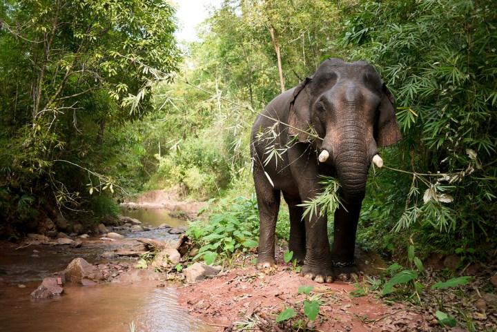 elephant eating bamboo