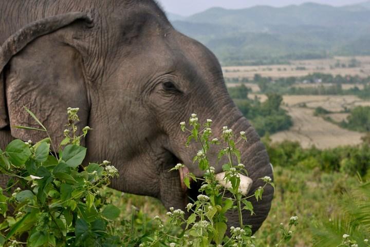 eating elephant