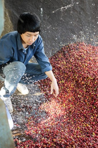 Lee processing coffee cherries.