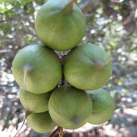 Ripening Macadamia Nuts