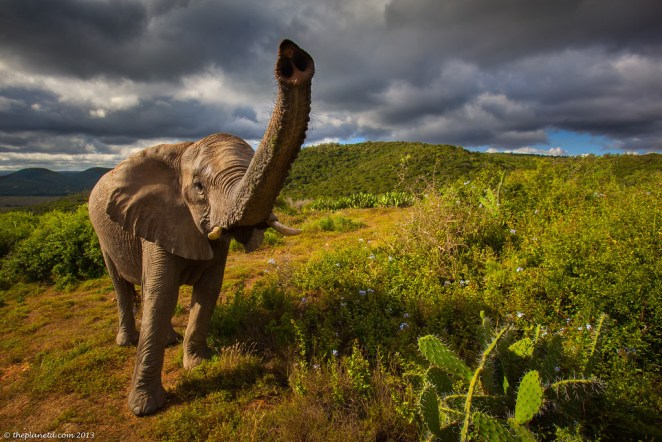 Elephant on safari South Africa