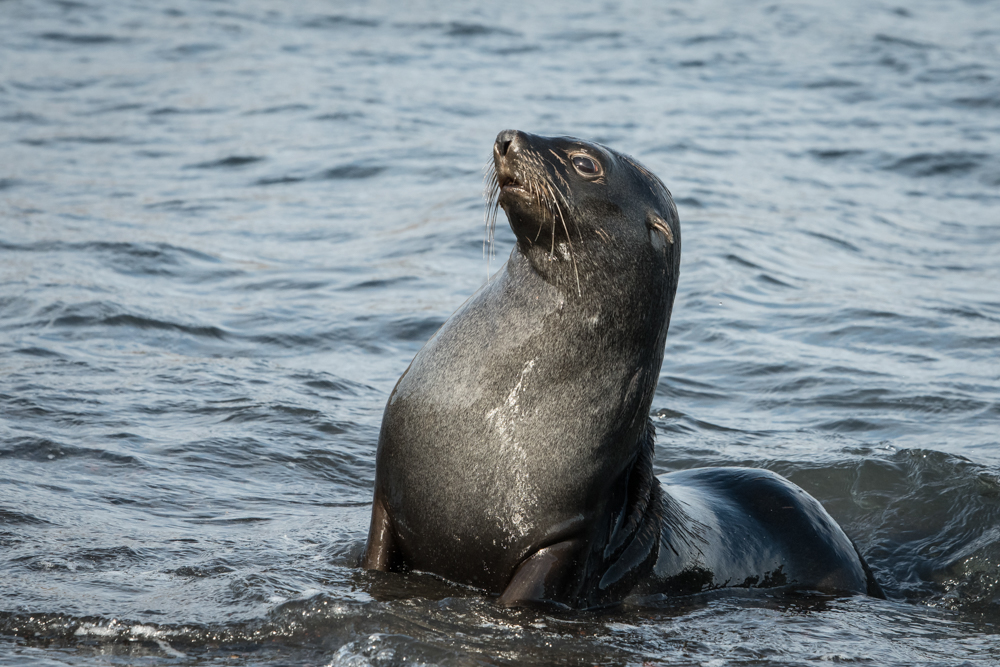 Fur Seals - Deception Island