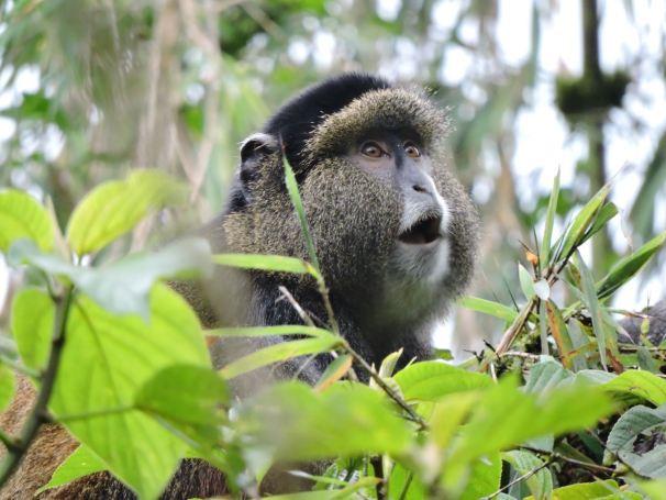 Golden Monkey Rwanda