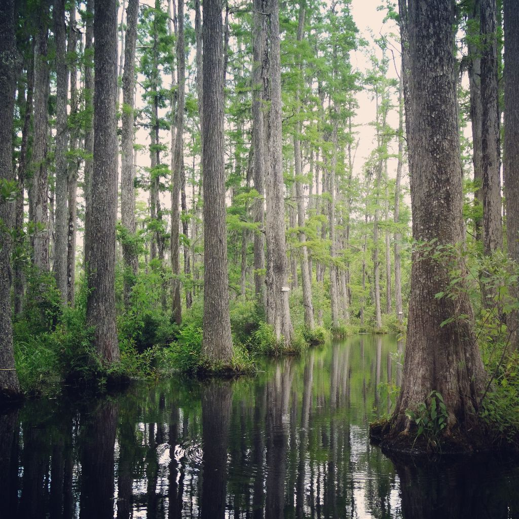 Sümpfe Südstaaten Cypress Gardens South Carolina