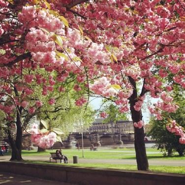 April - Kirschblüte in Dresden