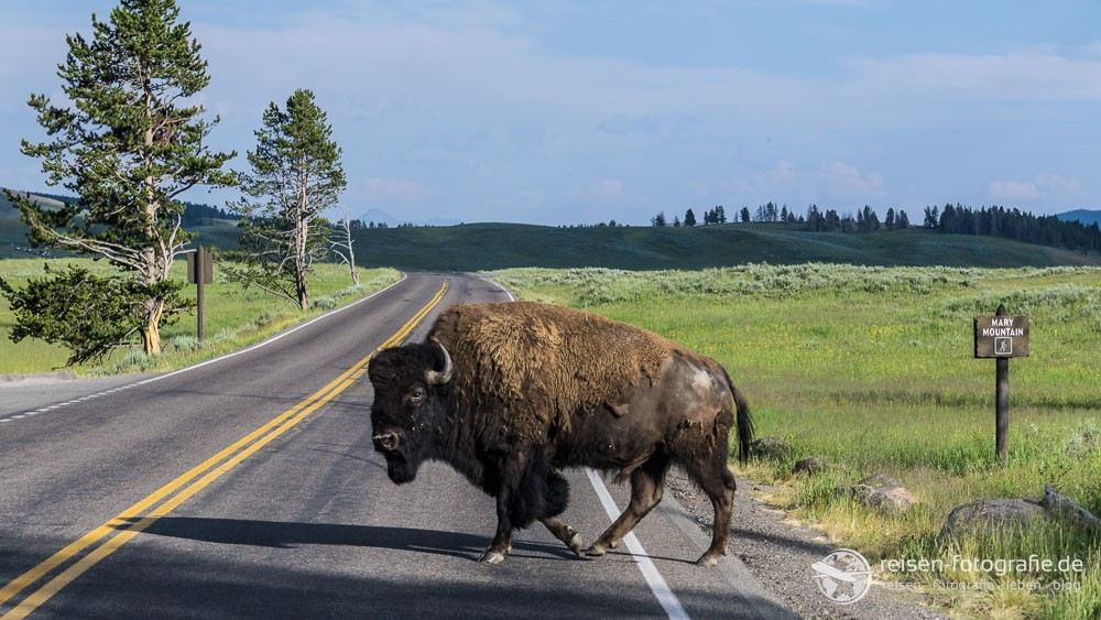 yellowstone-bisons-10-1000x563