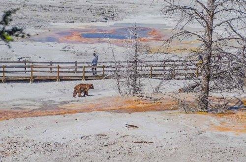 4 Tage im Yellowstone Nationalpark. Grizzly Bär an den Mammoth Hot Springs und Tourist beim Selfie machen