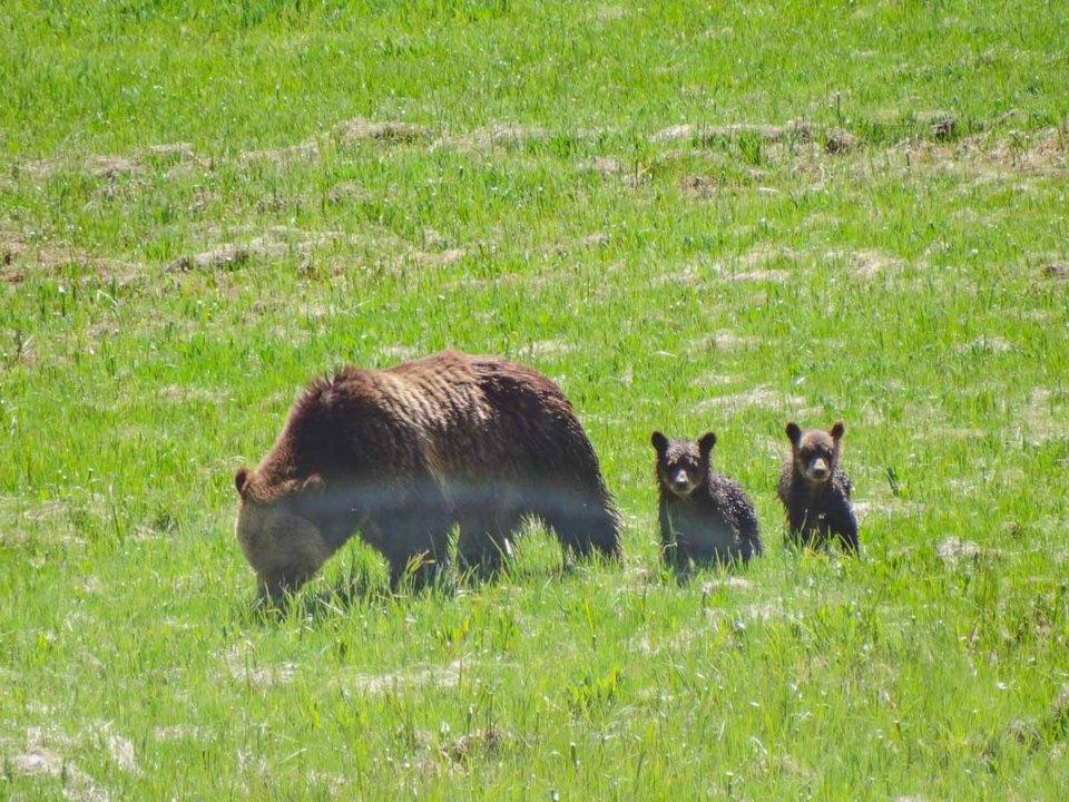 baären mit jungen im yellowstone nationalpark