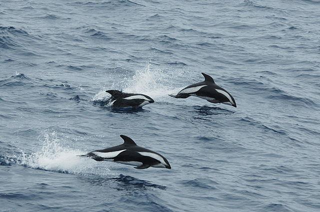 640px-Hourglas_dolphin