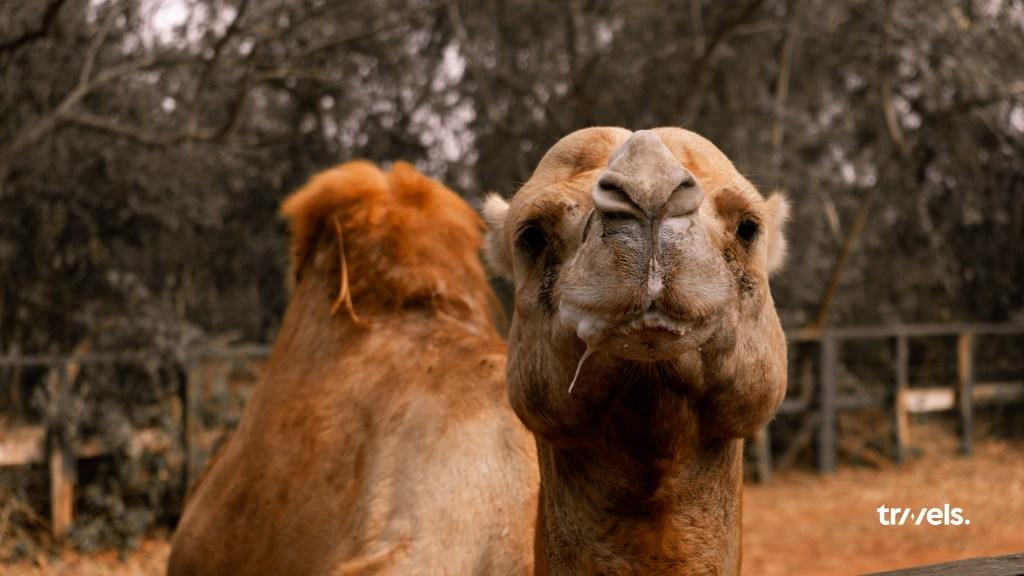 Camel at Accra Zoo