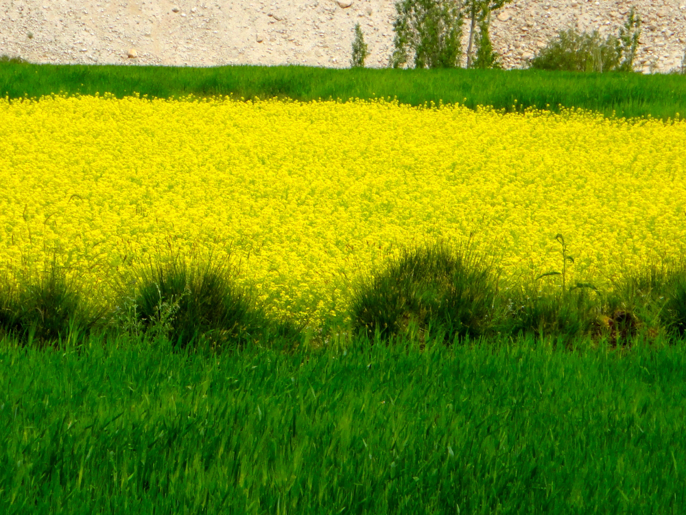 Yellow & green fields Ladakh