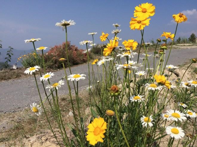 Flowers flowers everywhere in Mukteshwar