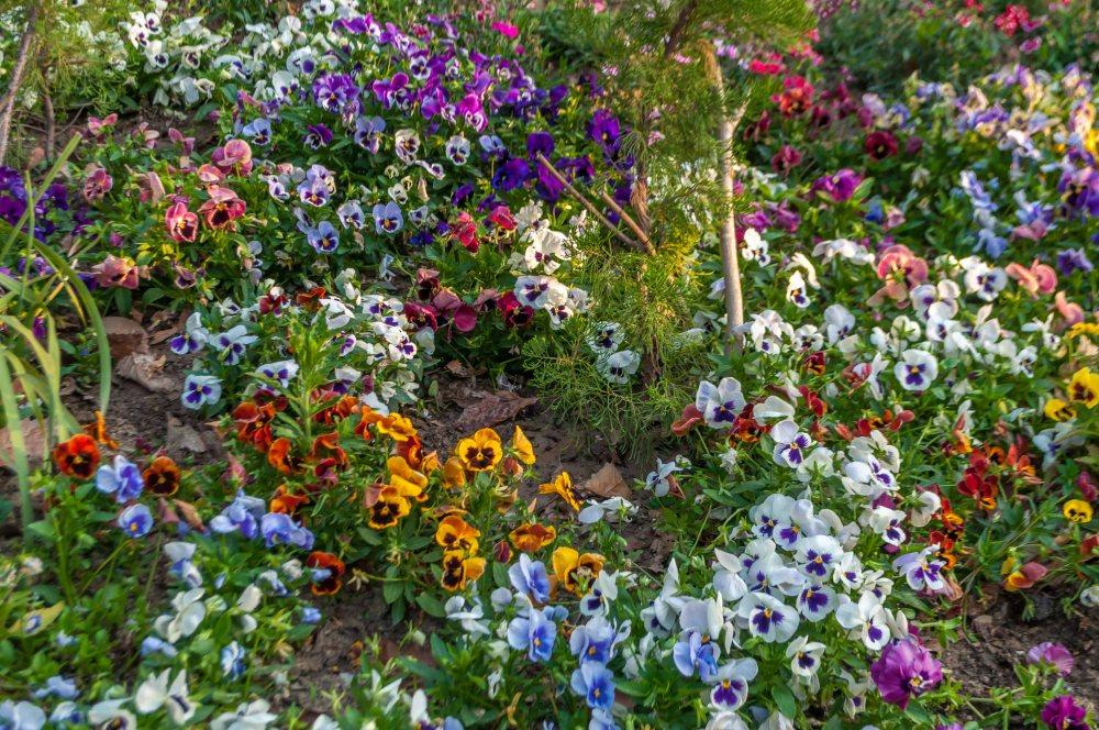 Colourful flowers in Ranikhet Chaubatia