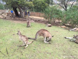 Kangaroos and Koalas at Bonorong Wildlife Sanctuary