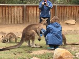 Forester kangaroos