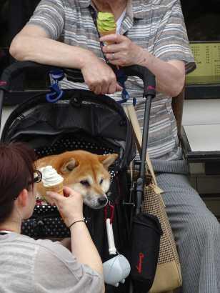 Dog in Pram beng fed Ice-Cream