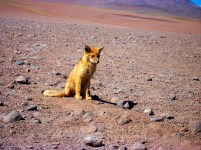 A desert fox trying to scavenge food next to the Bolivian Border control at the Chilean crossing
