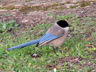azure-winged-magpie-small