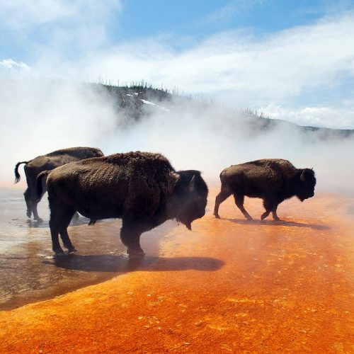 bison-crossing-edge-of-grand-prismatic-spring-in-yellowstone-national-park