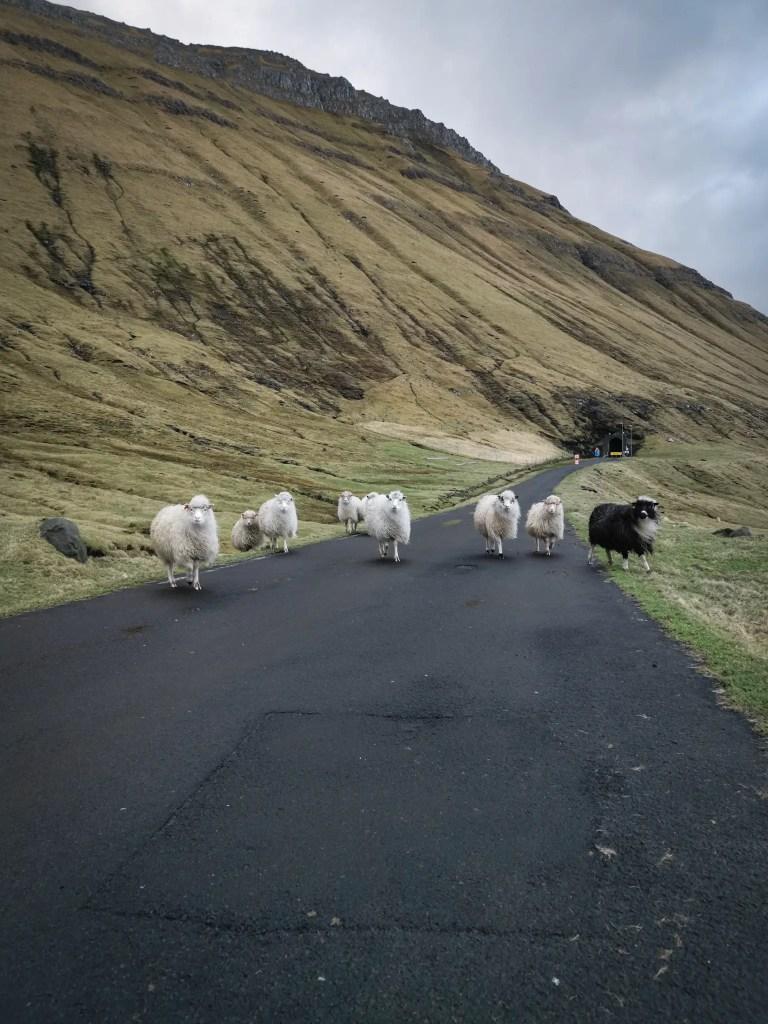 Les moutons tous autant présents sur l'île de stremoy.