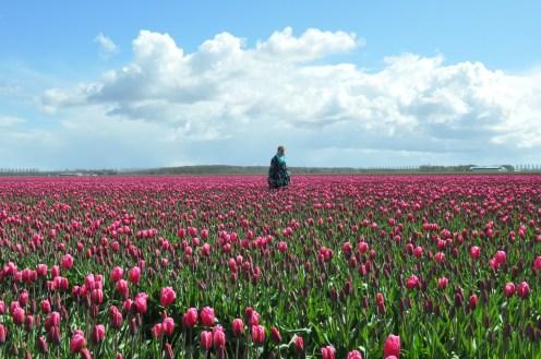 Tulips, Marimekko, Netherlands