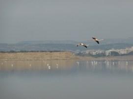 Cyprus, Larnaca, Flamingo