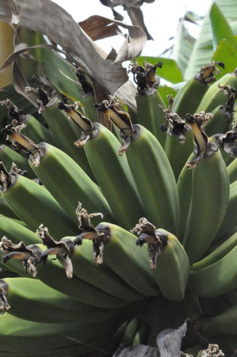 Bananas all over the place. Does anyone know, why they are in blue bags??