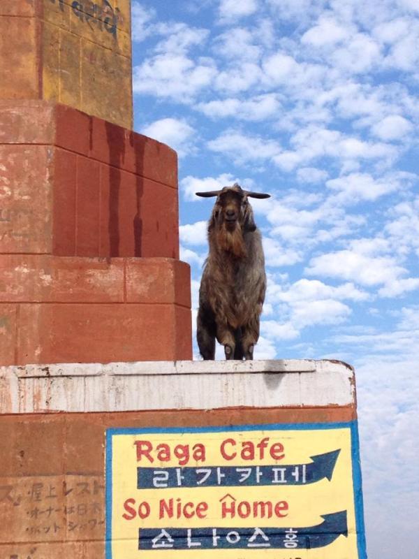 Billy Goat in Varanasi