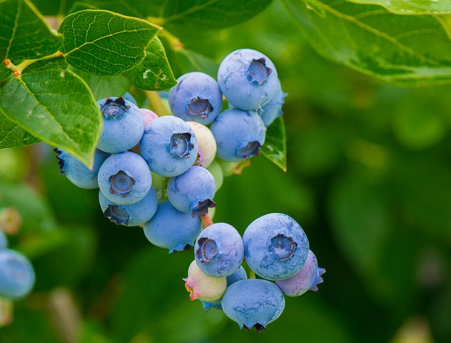 Native Americans knew about blueberries and ways to use them.