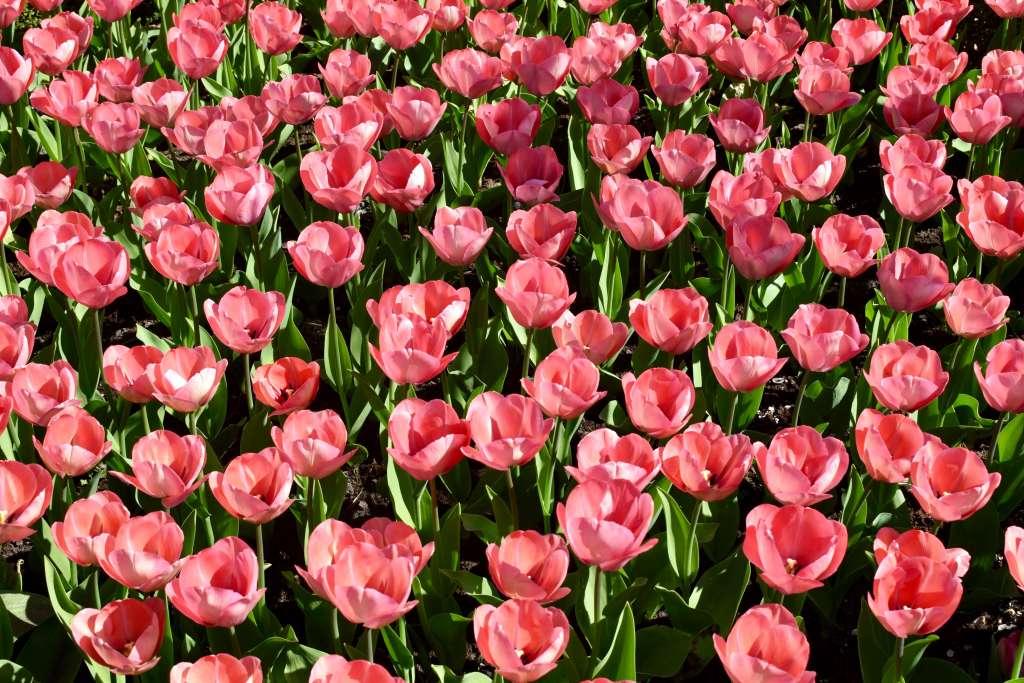 viewing amsterdam tulips during spring break. keukenhof photos