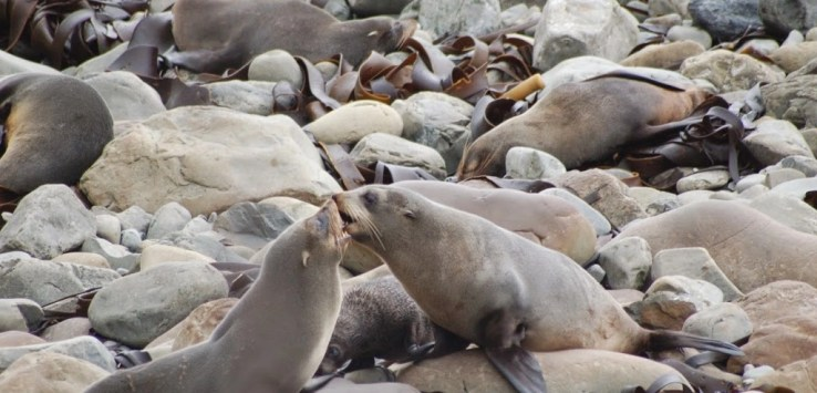 Ohau Seal Colony