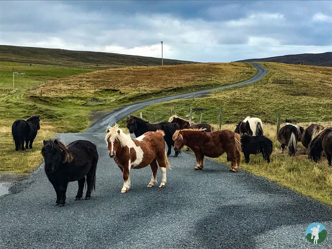 shetland travel guide ponies road