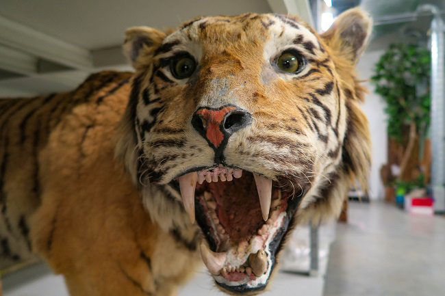 tiger taxidermy gmrc