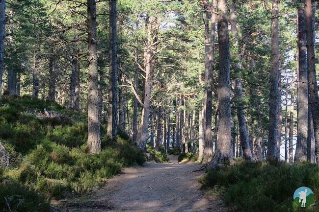 rothiemurchas walk wood