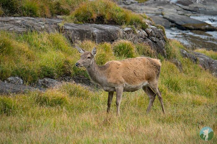 deer scotland isles