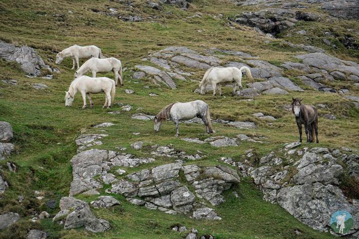 eriskay wild ponies