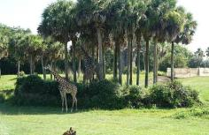 1.1434393887.giraffes