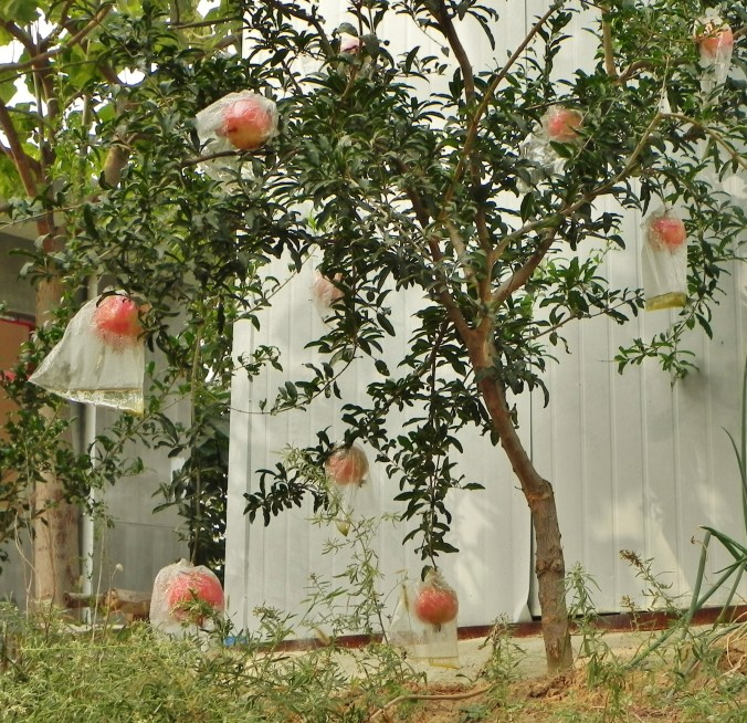 Xian, Pomegranate, Pomogranate Tree