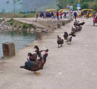 Guiling, Li River, Yulong River, Yangshou, duck herding, black ducks