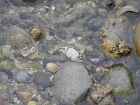 White crab in tide pool at Birch Bay.