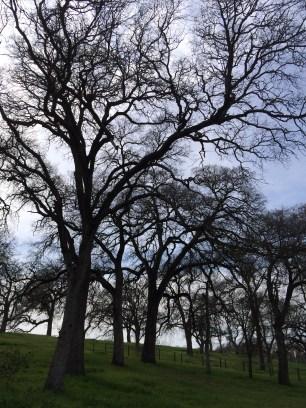 Blue oaks at Schoolhouse Park