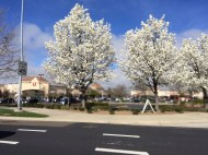 Ornamental trees were in bloom