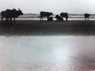 Cows on Vegator Beach in Goa, India
