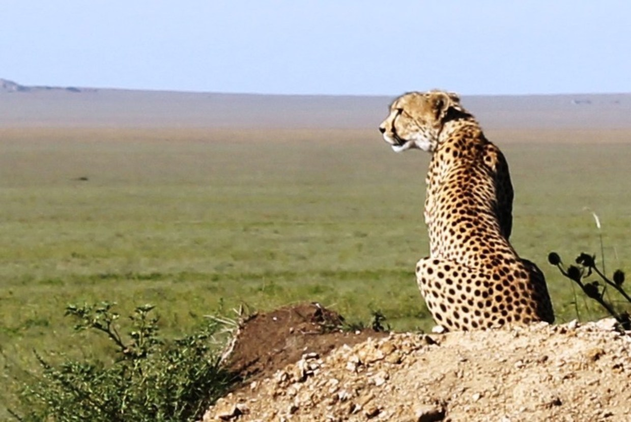 Cheetah on the lookout in the Serengeti National Park in Tanzania