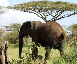 African Elephant in the Serengeti National Park