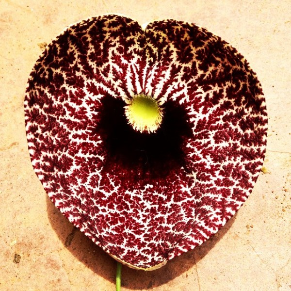 This flower, called Aristolochia littoris or calico flower, is shaped like a perfect heart and scores of them grow in my back garden in Mwanza, Tanzania.