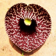 Aristolochia littoris or my Valentine's Day Flower
